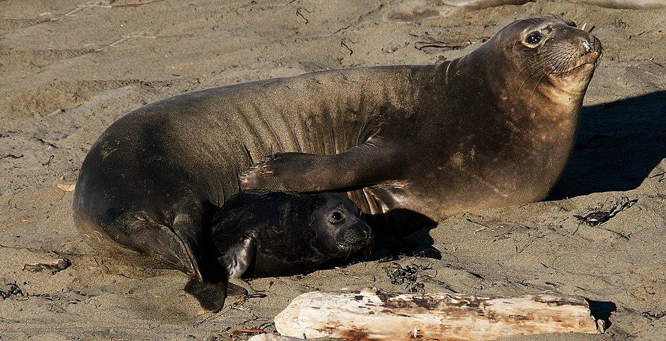 E-seal Mom and pup, Piedras Blancas 2009