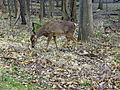 EN-Chicago-North-Branch-Bike-Trail-Nature-Deer.jpg