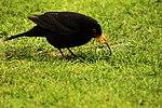 Earlybird gets the worm (16888219726).jpg