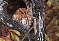 Eastern Screech Owl (31073500150).jpg