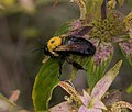Eastern carpenter bee on spotted bee balm (70446).jpg