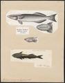 Echeneis remora - 1700-1880 - Print - Iconographia Zoologica - Special Collections University of Amsterdam - UBA01 IZ13500254.tif