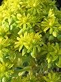 Echeveria species at Ooty (11).jpg