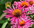 Echinacea purpurea 'Pica Bella' in Jardin des 5 sens (1).jpg