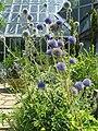 Echinops setifer2.jpg