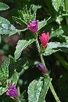 Echium tuberculatum