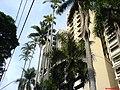 Edificios e Palmeiras Imperiais - Rua Irma Serafina - panoramio.jpg