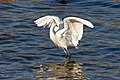 Egret Wing Flapping (192416147).jpeg
