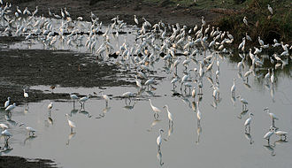 Egret - Egrets at dusk in Kolleru Lake, Andhra Pradesh, India