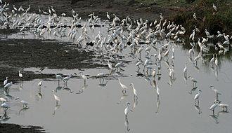 Egret - Egrets at dusk in Kolleru Lake, Andhra Pradesh, India