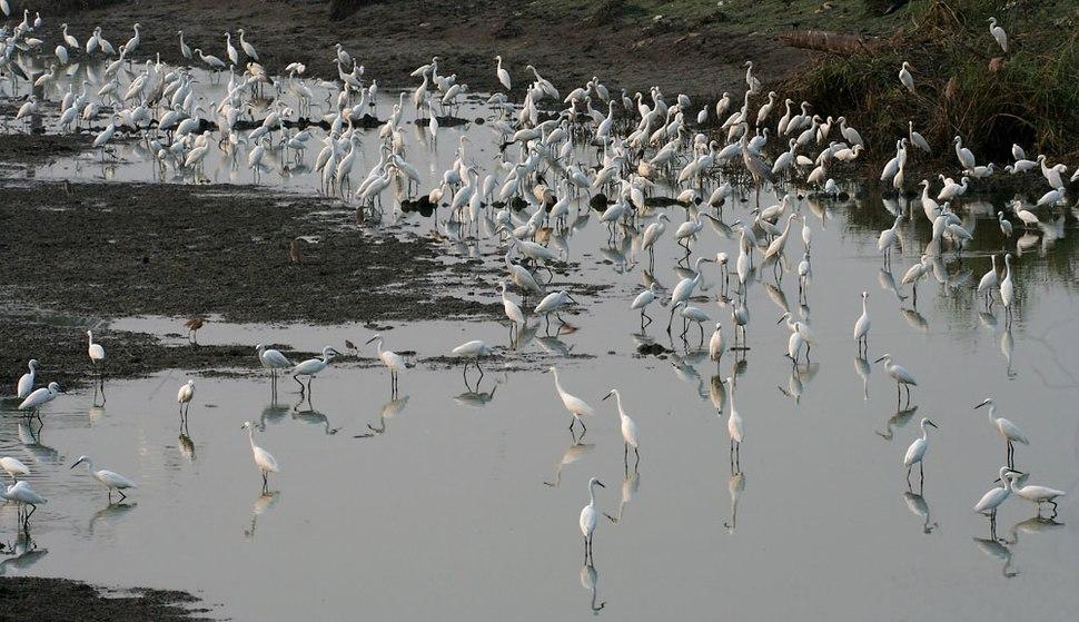 Egrets in AP W IMG 4220