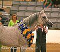 Egyptian Event Arabian Horse Show 2009 (4338416439).jpg