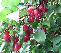 Elaeagnus multiflora Frucht