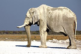 Elephant Bull Trunk 2019-07-27.jpg