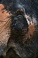 Elephant up close, Phuket (3049785638).jpg