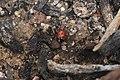 Eleven-spot ladybird - European invader (5201063436).jpg