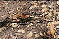 Elgaria coerulea coerulea01.jpg