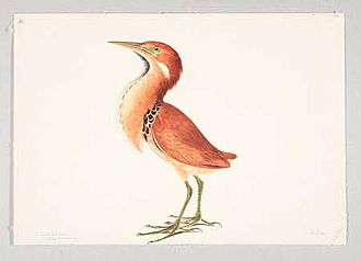 1807 in birding and ornithology - Image: Elizabeth Gwillim Chestnut Bittern