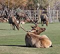 Elk at Estes Park Golf Course (6252598078).jpg