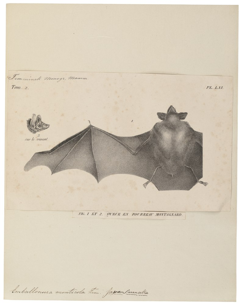 The average litter size of a Lesser sheath-tailed bat is 1