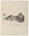 Emballonura monticola - 1700-1880 - Print - Iconographia Zoologica - Special Collections University of Amsterdam - UBA01 IZ20800029.tif