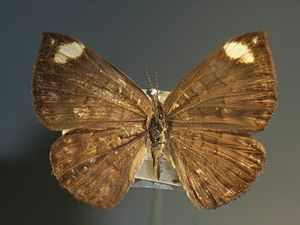 Emesis (genus) - Female E. lucinda