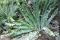 Encephalartos pterogonus 4zz.jpg
