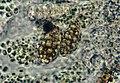 Endocarpon petrolepideum-7.jpg