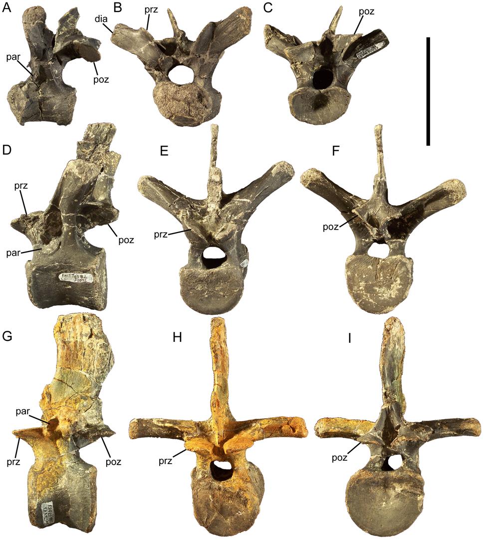 Eolambia dorsal vertebrae