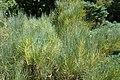 Ephedra chilensis kz03.jpg