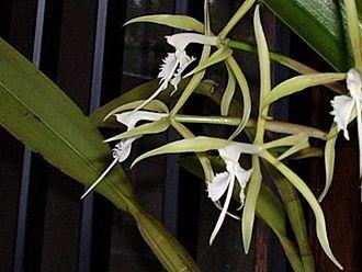 Epidendrum - Image: Epidendrum ciliare 0