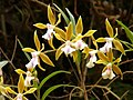 Epidendrum tetraceros Costa Rica 2.jpg