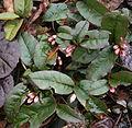 Epigaea asiatica bud.jpg