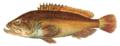 Epinephelus marginatus NIE.png