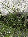 Equisetum arvense 119952416.jpg