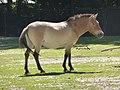 Equus-p-przewalskii-facing-right-2.jpg