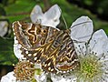 Erebidae - Euclidia (Callistege) mi.JPG