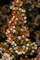 Erica curvirostris 1DS-II 3792.png