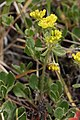 Eriogonum umbellatum 4672.JPG