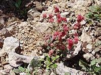 Eriogonumabertianum