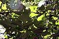 Erythrina poeppigiana 9zz.jpg