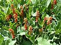Erythrina zeyheri, a, Krugersdorp.jpg