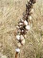 Escargot des dunes.JPG