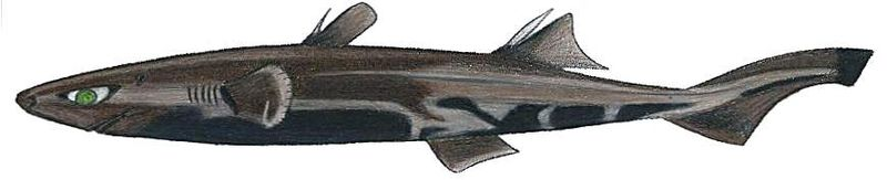 File:Etmopterus perryi.JPG