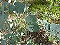 Eucalyptus bridgesiana (5369783894).jpg