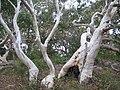 Eucalyptus haemastoma E. haemastoma IMG 3051 (5498378774).jpg