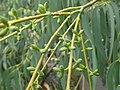 Eucalyptus perrinana 03.jpg
