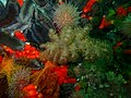 Eunephthya thyrsoidea 37392495.jpg