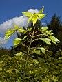 Euonymus alatus 2016-04-28 8961.jpg