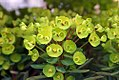 Euphorbia characias 0zz.jpg